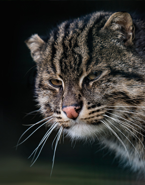 Roaring Success For The Big Cat Sanctuary, Smarden