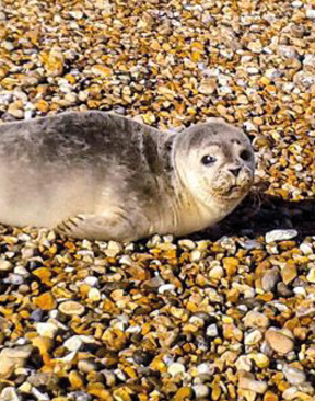 Seals Ashore in East Kent