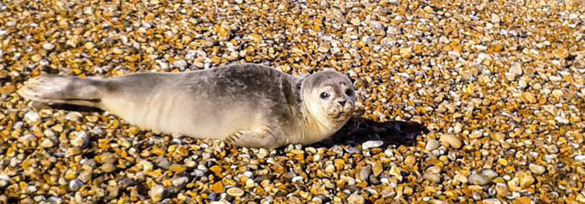 Image for Seals Ashore in East Kent