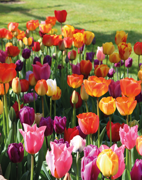 Image for Tempted By Tulips?